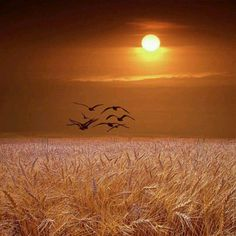 wheat and geese