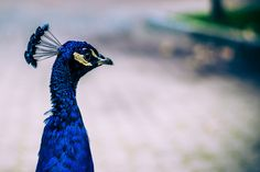 Peacock by proyectolabs photo on 500px