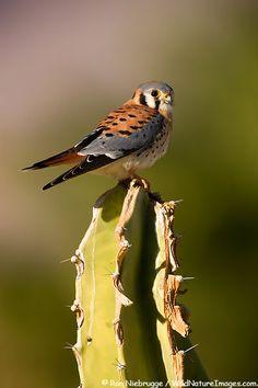 AMERICAN KESTREL PHOTOS  American Kestrel, Borrego Springs, California  (Falco sparverius)