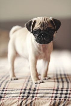 I want to be about the pug life