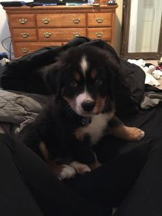 This lil Bernese puppy who will reveal the secrets behind his expert snuggling technique.