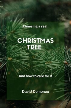 You searched for pine needles - David Domoney Real Christmas Tree, Pine Needles, David, Decorations, Seasons, Holidays, Holiday Decor, Vacations, Holidays Events