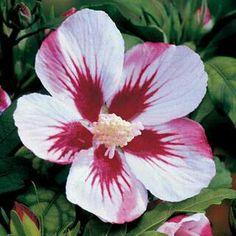 Red heart hibiscus via Wayside Gardens