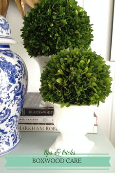 Boxwood Care - How to care for preserved and fresh boxwood.