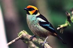 Flame-faced Tanager by coolbirds502, via Flickr