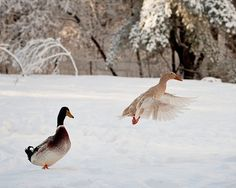 Flying Duck Photo, Ducks in Snow, Water Fowl in Snow, Winter Landscape, Snow Photograph