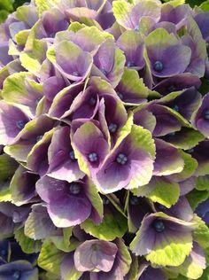 Hydrangea Everlasting® Amethyst PP# 22261 | Plants Nouveau
