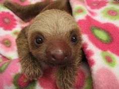 Look at this cute guy! .#meetthesloths