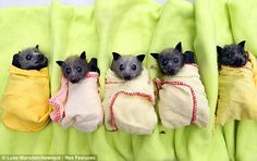 Baby bats at the Bat Clinic in Advancetown,Australia, which has helped at least 130 baby bats after the wet weather.