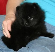 India the Pomeranian Pictures 3316