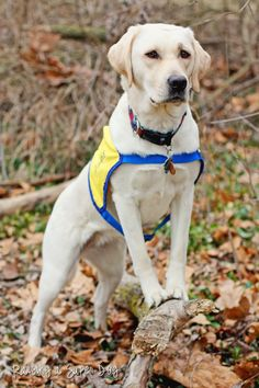 Euka II was raised by volunteer puppy raisers in southwestern Ohio for Canine Companions for Independence. She is in her second semester of the Advanced Training Program to be an assistance dog.   #CCI