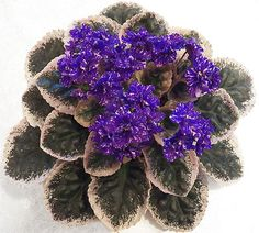 African Violet Plant Cajuns Beautiful Oblivion | eBay Cajun's Beautiful Oblivion (10572) 01/11/2013 (B. Thibodeaux) Single-semidouble purple frilled star/pink and white fantasy. Variegated dark green, cream and pink, plain. Standard
