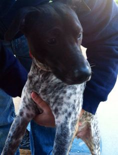 47 Best German Shorthair Pointer Us Lost Dog Registry Images Losing A Dog Find Pets Dogs