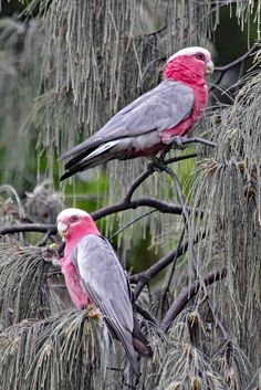2 pink and grey galahs on a casuarina