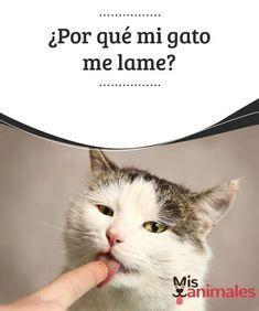 Por Qué Mi Gato Me Lame Mis Animales Gatos Alimento Perros Lenguaje De Los Gatos