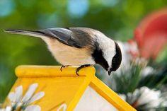 Spring Chickadee Photograph by Christina Rollo