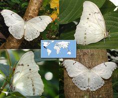 White Morpho   Morpho polyphemus   Wingspan:  5.0 to 6.5 in  Family: Nymphalidae   Subfamily: Satyrinae   Tribe: Morphini  Photos © Ryan G. Fessenden