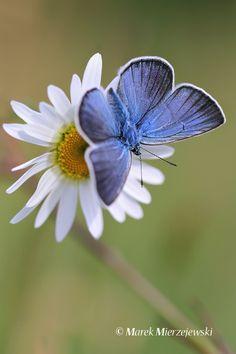 Amanda's Blue butterfly  A felicidade está ao seu alcance.