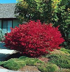 Burning Bush Dwarf 12. - 17. one to two water, half shade to full sun, deciduous shrub