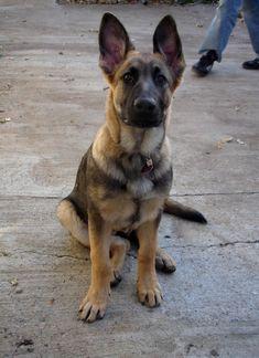 ~ Red Sable German Shepherd ~