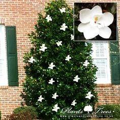 Magnolia Grandiflora Little Gem: