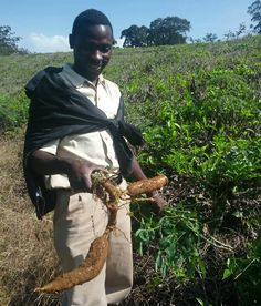 Tanzania's Cassava Seed Champion project is helping farmers have consistent access to certified disease-free and also disease-resistant seed through an improved supply chain that better links the processes from the supplier to the consumer. www.giftsolutions.org