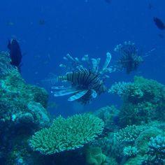 #ミノカサゴ #Lionfish #水中写真 #underwaterphotography #Underwater_photography #Steve'sBommie #GreatBarrierReef #MV_Taka #Cairns #Australia by yoshitomo3863 http://ift.tt/1UokkV2