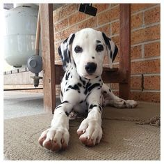 Dalmatian puppy (mine is a dalmatian mix)