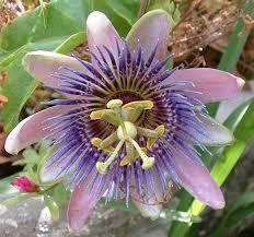 passion flower purple / blue/ violet tints
