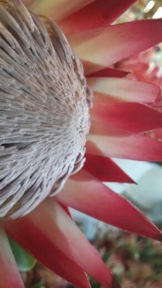 King Protea 'Madiba' Protea Art, Protea Flower, Art Flowers, Flower Art, King Protea, Desert Plants, South Africa, Beautiful Flowers, Gardens