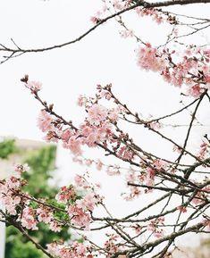 Andar pelas ruas e ver as cerejeiras floridas me deixa feliz (e me faz querer fotografar todas as árvores hehe) Instagram Blog, 1, Cherry Tree, The Streets, Happy