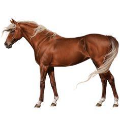Забap, Pferd Tinker Dunkelbrauner mit Tobiano-Scheckung # - Howrse
