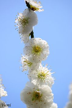 White Japanese apricot blossoms