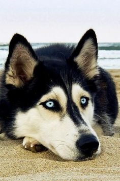 Wonderful All About The Siberian Husky Ideas. Prodigious All About The Siberian Husky Ideas. Most Beautiful Dogs, Animals Beautiful, Amazing Dogs, Cute Puppies, Dogs And Puppies, Corgi Puppies, Pet Dogs, Dog Cat, Doggies