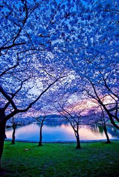 blue blooming trees.