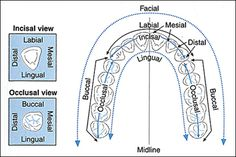 Teeth Diagram Showing the Medical Description of all Surface Sides of The Tooth Depending On its Location or Placement in the Mouth. Dental Assistant Study, Dental Hygiene School, Dental Humor, Dental Hygienist, Dental Implants, Dental World, Dental Life, Dental Teeth, Dental Charting