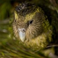 Fans flock to see famous Kakapo