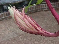 Night Blooming Cereus care - Arizona Queen of the night Care and bloom