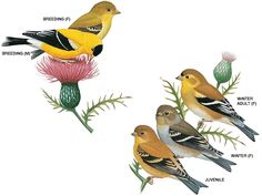 According to this picture, we actually do have Goldfinches but they are in their winter coats.
