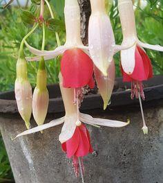 Stiklinger og oppstamming av Fuchsia Garden Ideas, Gardening, Garten, Landscaping Ideas, Backyard Ideas, Lawn And Garden, Horticulture