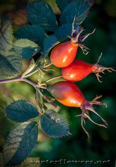фото плодов шиповника