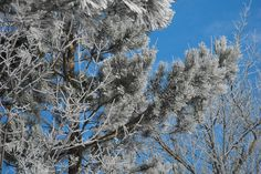 Frosty Pine Tree by Ewunia F, via Flickr
