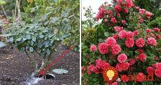 Chcete tie najkrajšie ruže v okolí? Gardening, Flowers, Plants, Floral, Lawn And Garden, Plant, Royal Icing Flowers, Florals, Flower