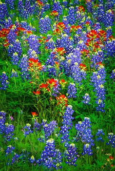 Bluebonnet Patch - Wildflowers near Llano, Texas- purrrdy