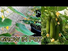 Grow Cucumber in Pot From Start Till Harvest (You Must Try) - YouTube Grow Cucumber, Cucumber Plant, Japanese Cucumber, Barrel Planter, You Must, Harvest, Vines, The Creator, Planters