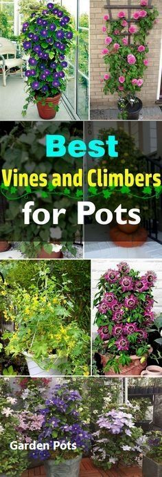 Add a vertical touch in your container garden by growing climbing plants for containers. Must see these 24 best vines for pots. Add a vertical touch in your container garden by growing climbing plants for containers. Must see these 24 best vines for pots. Balcony Plants, Outdoor Plants, Patio Plants, Balcony Flowers, Balcony Garden, Fence Plants, Plants Indoor, House Plants, Container Plants