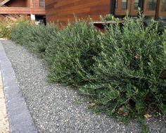"Olea 'Little Ollie', dwarf olive. ""Olea Montra"" I like these bushes. Apple courtyard bushes"