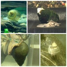 Aquarium snails for your freshwater planted tanks. Freshwater snails are a great addition to creating a nice healthy environment for your . Aquarium Snails, Planted Aquarium, Container Pond, Shrimp Tank, Stock Tank, Fish Food, Healthy Environment, Outdoor Plants, Aquariums