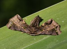 Moths of the Andes - Quentalia roseilinea ( or closely related species ), Satipo, Peru © Adrian Hoskins