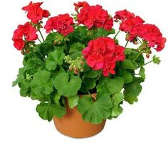 My beautiful red geraniums Geranium Planters, Geranium Flower, Flowers Perennials, Planting Flowers, Potted Flowers, Succulents Garden, Flower Seeds, Flower Pots, Overwintering Geraniums